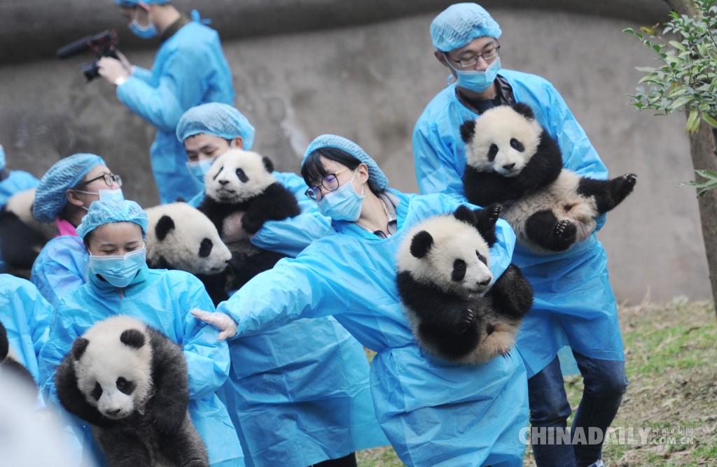 成都23只大熊猫宝宝向民众拜年 喜迎鸡年春节